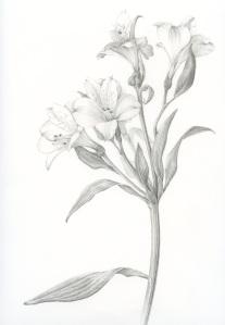 Astromeria Peruviana