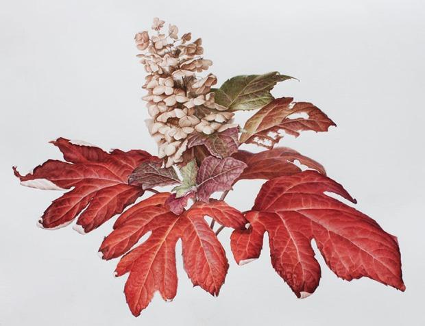 Oak Leaf hydrangea in fall